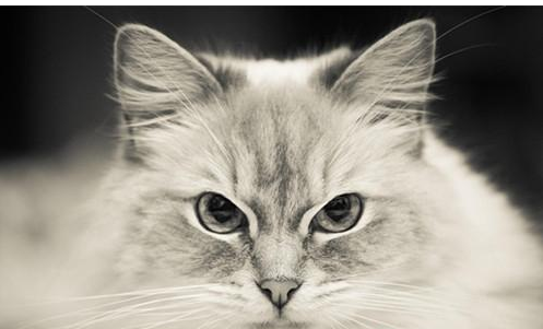 布偶猫颜色分类有哪些