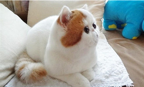 加菲猫红小胖