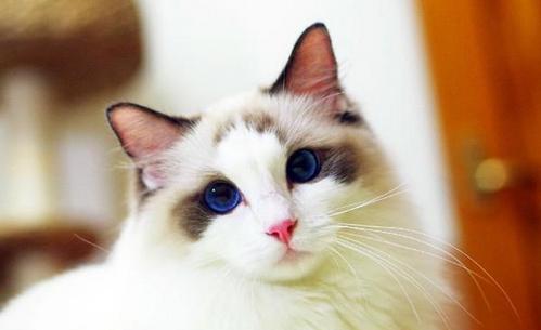 布偶猫的品种简介