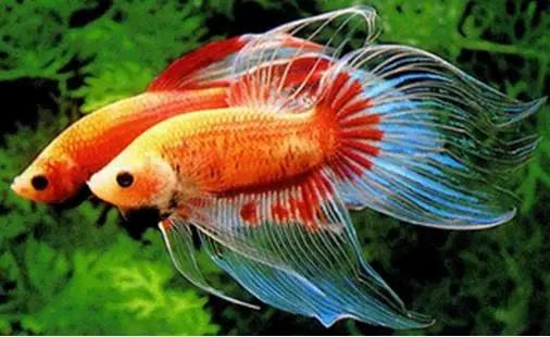 宠物鱼品种介绍